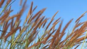 Θερινή σκηνή των καλάμων που κυματίζουν στον αέρα μια ηλιόλουστη ημέρα φιλμ μικρού μήκους