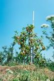 Θερινή συγκομιδή των μήλων Νέος οπωρώνας μήλων, σειρές των δέντρων Στοκ εικόνα με δικαίωμα ελεύθερης χρήσης
