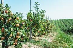 Θερινή συγκομιδή των μήλων Νέος οπωρώνας μήλων, σειρές των δέντρων Στοκ εικόνες με δικαίωμα ελεύθερης χρήσης