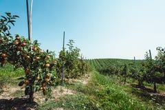 Θερινή συγκομιδή των μήλων Νέος οπωρώνας μήλων, σειρές των δέντρων Στοκ Φωτογραφίες