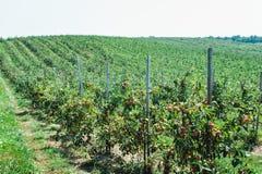 Θερινή συγκομιδή των μήλων Νέος οπωρώνας μήλων, σειρές των δέντρων Στοκ φωτογραφία με δικαίωμα ελεύθερης χρήσης