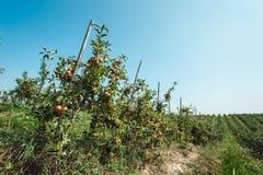 Θερινή συγκομιδή των μήλων Νέος οπωρώνας μήλων, σειρές των δέντρων Στοκ Εικόνα