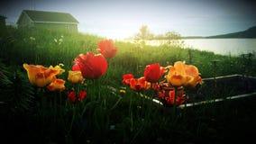 θερινή τουλίπα Στοκ Εικόνα