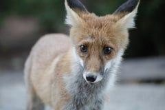 Θερινή φωτογραφία κινηματογραφήσεων σε πρώτο πλάνο της κόκκινης αλεπούς Στοκ φωτογραφία με δικαίωμα ελεύθερης χρήσης
