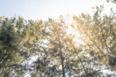 Θερινός ήλιος άνοιξης που λάμπει μέσω του θόλου των ψηλών δέντρων Φως του ήλιου στοκ εικόνες με δικαίωμα ελεύθερης χρήσης