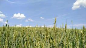 Θερινός ήλιος που λάμπει επάνω από το γεωργικό τοπίο του τομέα σίτου απόθεμα βίντεο