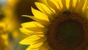 θερινός ηλίανθος φύσης μελισσών απόθεμα βίντεο