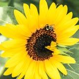 θερινός ηλίανθος φύσης μελισσών Στοκ Εικόνα