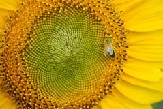 θερινός ηλίανθος φύσης μελισσών Στοκ Φωτογραφίες