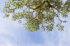 Θερινός ηλιόλουστος ουρανός με το πράσινο δέντρο, έννοια φύσης Στοκ Εικόνες