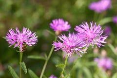 θερινός κάρδος λουλουδιών Στοκ Εικόνα