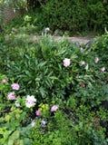 Θερινός κήπος που τα όμορφα θαυμάσια λουλούδια τριαντάφυλλων, είναι θαυμάσια στοκ φωτογραφία με δικαίωμα ελεύθερης χρήσης