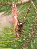 Θερινός σκώρος της Ρωσίας σε ένα δέντρο πεύκων στοκ εικόνα με δικαίωμα ελεύθερης χρήσης
