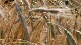 Θερινός τομέας, αυτιά της σίκαλης που ταλαντεύεται στον αέρα απόθεμα βίντεο