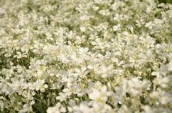 Θερινός τομέας των άσπρων μικρών λουλουδιών Στοκ εικόνα με δικαίωμα ελεύθερης χρήσης