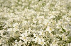 Θερινός τομέας των άσπρων μικρών λουλουδιών Στοκ Φωτογραφία