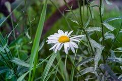 Θερινός όμορφος chamomile σε Kamenskoe Ουκρανία Στοκ φωτογραφία με δικαίωμα ελεύθερης χρήσης