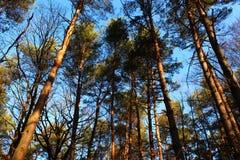 Θερινό δάσος, δάσος πεύκων Στοκ Φωτογραφία