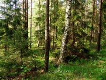 Θερινό δάσος στο μεσημέρι Στοκ εικόνα με δικαίωμα ελεύθερης χρήσης