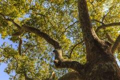 Θερινό δέντρο με το όμορφο φύλλωμα και την τιμωρία Στοκ Εικόνα