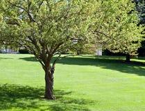 θερινό δέντρο καβουριών μή&lamb Στοκ Εικόνες