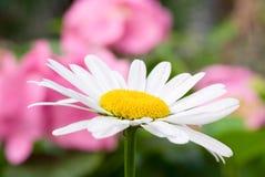 θερινό επάνω λευκό λουλ& Στοκ Εικόνες