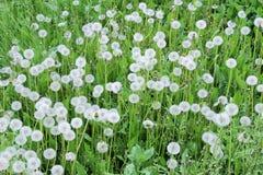 Θερινό λιβάδι με τις άσπρες πικραλίδες Στοκ φωτογραφία με δικαίωμα ελεύθερης χρήσης