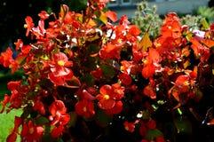 Θερινό κόκκινο flowers… στο πάρκο πόλεων λουλούδια φυσικά Στοκ Εικόνες