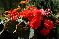 Θερινό κόκκινο flowers… στο πάρκο πόλεων λουλούδια φυσικά Στοκ φωτογραφία με δικαίωμα ελεύθερης χρήσης