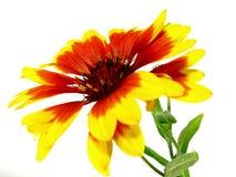 Θερινό λουλούδι Στοκ Φωτογραφίες