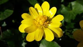 Θερινό λουλούδι Στοκ Εικόνες