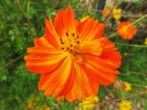 Θερινό πορτοκαλί λουλούδι Στοκ Φωτογραφία
