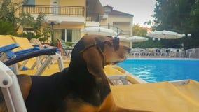 Θερινό σκυλί σε ένα μόνιππο longue που φορά τα γυαλιά ηλίου που έχουν τη διασκέδαση απόθεμα βίντεο