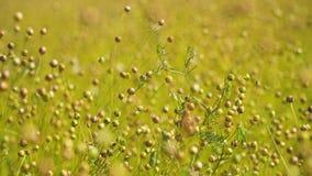 Θερινό τοπίο, ένας τομέας του λιναριού Στοκ Φωτογραφία