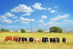Θερινό τοπίο με τις ευτυχείς αγελάδες Στοκ Εικόνα