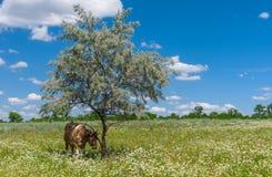 Θερινό τοπίο με το κρύψιμο αγελάδων κάτω από τη σκιά Στοκ Φωτογραφία