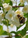 Θερινό υπόβαθρο των λουλουδιών της Jasmine με το έντομο hornet Στοκ Φωτογραφία