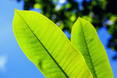 Θερινό υπόβαθρο φύλλων ζουγκλών πράσινο στους εξωτικούς τόνους Στοκ εικόνα με δικαίωμα ελεύθερης χρήσης