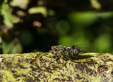 Θερινό Cicada Στοκ Φωτογραφίες