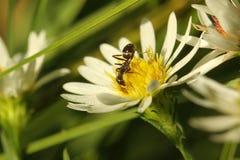 θεριστική μηχανή μυρμηγκιώ& Στοκ Εικόνες