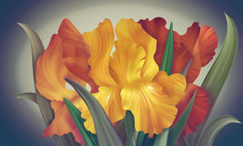 Θερμές πορτοκαλιές και κίτρινες ίριδες φαντασίας στο σκηνικό για το σχέδιο και Στοκ Φωτογραφία