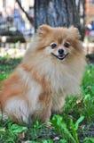 Θερμή ηλιόλουστη ημέρα φθινοπώρου Pomeranian στο πάρκο στοκ εικόνα με δικαίωμα ελεύθερης χρήσης
