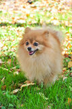 Θερμή ηλιόλουστη ημέρα φθινοπώρου Pomeranian στο πάρκο Στοκ εικόνες με δικαίωμα ελεύθερης χρήσης