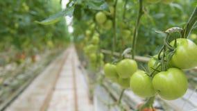Θερμοκήπιο και πράσινο λαχανικό απόθεμα βίντεο