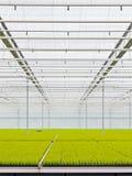 θερμοκήπιο κωνοφόρων που αναπτύσσει μέσα Στοκ εικόνες με δικαίωμα ελεύθερης χρήσης