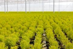 θερμοκήπιο κωνοφόρων που αναπτύσσει μέσα Στοκ εικόνα με δικαίωμα ελεύθερης χρήσης