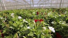 Θερμοκήπιο με μια μεγάλη στέγη γυαλιού, φωτεινό σύγχρονο θερμοκήπιο με τα λουλούδια, ζωηρόχρωμα λουλούδια σε ένα σύγχρονο θερμοκή φιλμ μικρού μήκους