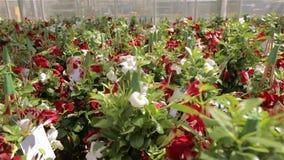 Θερμοκήπιο με μια μεγάλη στέγη γυαλιού, φωτεινό σύγχρονο θερμοκήπιο με τα λουλούδια, ζωηρόχρωμα λουλούδια σε ένα σύγχρονο θερμοκή απόθεμα βίντεο