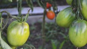 Θερμοκήπιο με τις ντομάτες και τα αγγούρια λαχανικών φιλμ μικρού μήκους