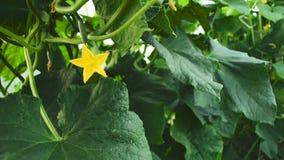 Θερμοκήπιο με τις ντομάτες και τα αγγούρια λαχανικών απόθεμα βίντεο